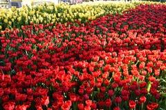 La luce del tulipano di mattina Immagine Stock