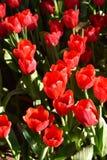 La luce del tulipano di mattina Fotografia Stock