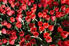 La luce del tulipano di mattina Fotografie Stock