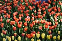 La luce del tulipano di mattina Immagini Stock Libere da Diritti