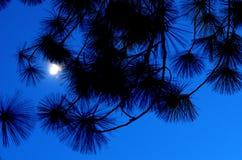 La luce di luna nel cielo notturno con il pino va Fotografia Stock Libera da Diritti
