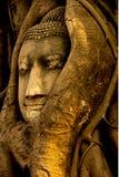 La luce dorata di pomeriggio sulla statua di Buddha inghiottita dall'albero si pianta in Wat Mahathat, Ayuthaya Tailandia Fotografia Stock