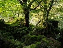 La luce solare attraverso gli alberi in una foresta con le foglie verdi vibranti ed il muschio sparso ha coperto i massi in ombra immagine stock libera da diritti