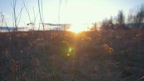 La luce solare della primavera che splende attraverso l'erba sul campo fiorisce al tramonto stock footage