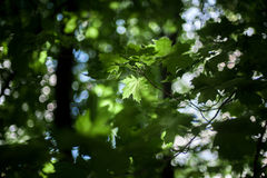 La luce solare illumina le foglie degli alberi Immagine Stock