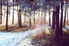 La luce solare splende attraverso i tronchi di albero Fotografie Stock