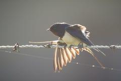 La luce solare splende tramite le ali di un sorso di granaio Immagini Stock Libere da Diritti