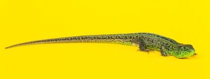 La lucertola di sabbia su colore giallo Fotografia Stock Libera da Diritti