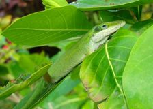 La lucertola ha chiamato Green Anole o chameleon Immagini Stock Libere da Diritti