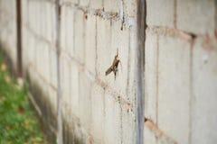 La lucertola munita riccia, un abitante delle Bahamas riccio-ha munito la lucertola di coda sul muro di cemento fotografia stock libera da diritti