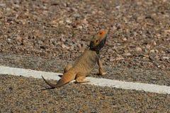 La lucertola prende un sunbath sul bordo della strada Immagine Stock
