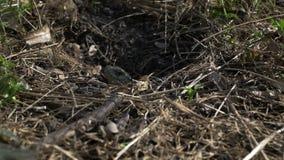 La lucertola striscia lentamente dal foro al sole per scaldarsi Fauna selvatica del parco della primavera archivi video