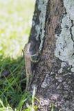La lucertola sull'albero fotografia stock libera da diritti