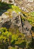 La lucertola verde è sulla roccia verde Fotografia Stock