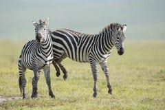 La lucha de la cebra común del adulto, cráter de Ngorongoro, Tanzania Fotos de archivo libres de regalías