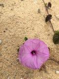 La lucha de la flor púrpura Fotografía de archivo libre de regalías
