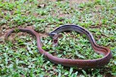 La lucha de la serpiente, corredor Cobre-dirigido Imagen de archivo