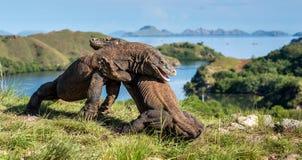 La lucha de los dragones de Komodo Fotografía de archivo libre de regalías