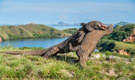 La lucha de los dragones de Komodo Fotos de archivo