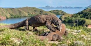La lucha de los dragones de Komodo Imagenes de archivo