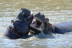 La lucha del desafío de los animales de la fauna de la lucha del hipopótamo articula abierto de par en par en el waterhole Fotografía de archivo