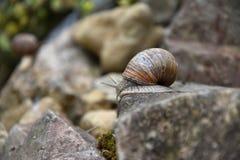 La lumaca è sull'orlo della pietra nel giardino Fotografia Stock