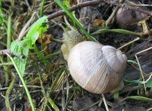 La lumaca di terra è una delle specie della lumaca che vivono su terra Fotografie Stock