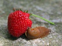 La lumaca mangia la fragola fresca su fondo di pietra Fotografia Stock