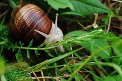 La lumaca mangia l'erba Fotografia Stock Libera da Diritti