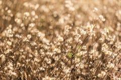 La lumière du coucher de soleil par l'élevage d'herbe sèche Photos libres de droits