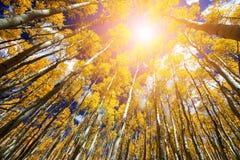 La lumière du soleil brille par les feuilles d'or de chute d'un arbre de tremble photos libres de droits