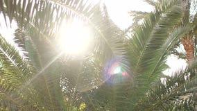 La lumière du soleil clignote par les feuilles de la paume banque de vidéos