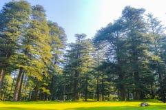 La lumière du soleil d'or boisée d'arbres forestiers avant coucher du soleil avec le soleil rayonne le versement par des arbres s Photo stock