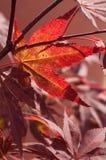la lumière du soleil dans l'érable japonais rouge part dans un g japonais Photo libre de droits