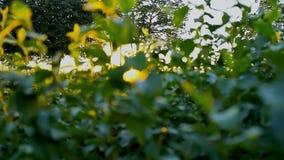 La lumière du soleil filtrent les feuilles et la mouche de duvet autour à la soirée d'été pendant le coucher du soleil banque de vidéos