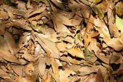 La lumière du soleil sur beaucoup a séché des feuilles Photos stock