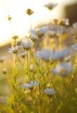 La lumière du soleil a tiré par des marguerites image stock