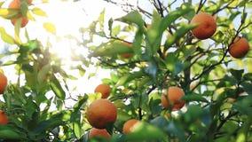 La lumière du soleil traverse la branche, qui balance dans le vent avec des oranges banque de vidéos
