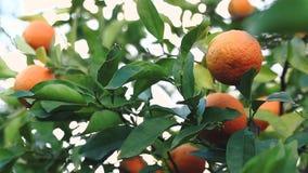 La lumière du soleil traverse la branche, qui balance dans le vent avec des oranges clips vidéos