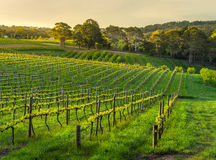 La lumière en retard frappe un vignoble au printemps Image libre de droits