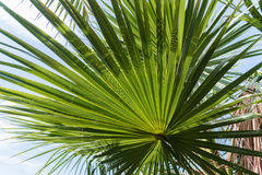 La lumière et l'ombre sur la palmette et la noix de coco rétro-éclairées de sucre poussent des feuilles, fond naturel Image stock