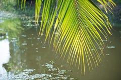 La lumière et l'ombre sur la palmette et la noix de coco rétro-éclairées de sucre poussent des feuilles, fond naturel Image libre de droits