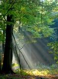 La lumière pleut à torrents par les arbres Images stock