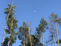 La luna di tempo del giorno splende dietro gli alberi alti in Kyiv o Kiev - l'UCRAINA Fotografie Stock