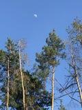 La luna di tempo del giorno splende nel cielo blu dietro gli alberi alti in Kyiv o Kiev - l'UCRAINA Immagini Stock