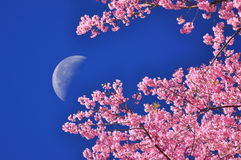 La luna su cielo blu con la priorità alta del fiore Immagine Stock