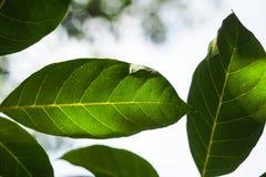 La luz brilla a través de las hojas Foto de archivo libre de regalías