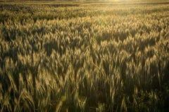 La luz de la madrugada de la salida del sol hace excursionismo el campo de trigo en una granja imagen de archivo