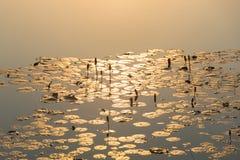 La luz del sol de la mañana salpicó abajo por la mañana del loto Fotos de archivo