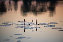 La luz del sol de la mañana salpicó abajo por la mañana del loto Imagen de archivo libre de regalías
